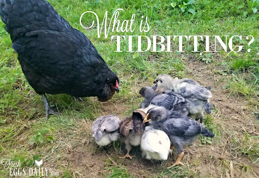 Tidbitting - What It Is and Why Chickens Do It