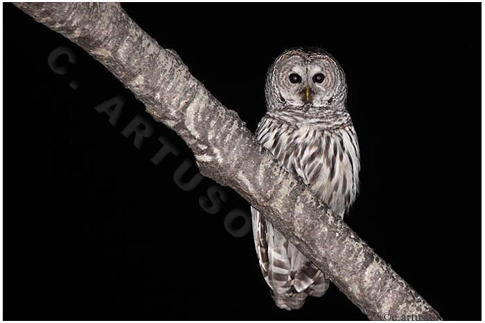 Christian Artuso: Birds, Wildlife: April 2012 - photo#26