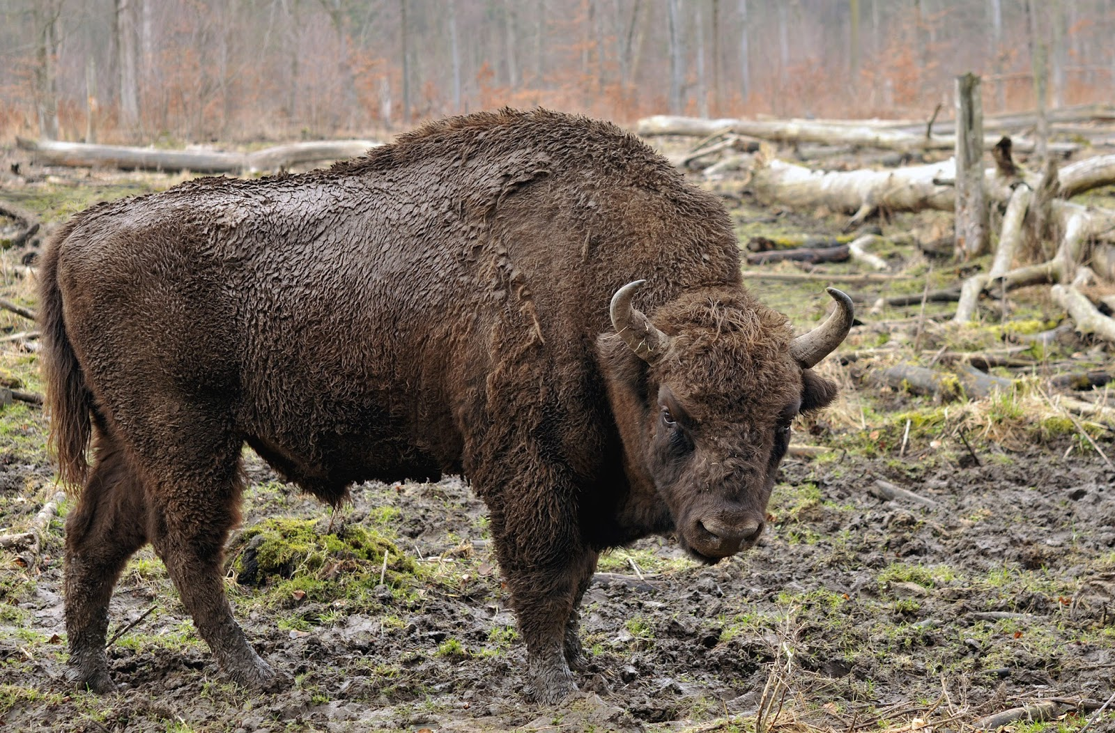 Mammals Animals: Bison bonasus