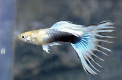 Ikan Guppy Crowntail