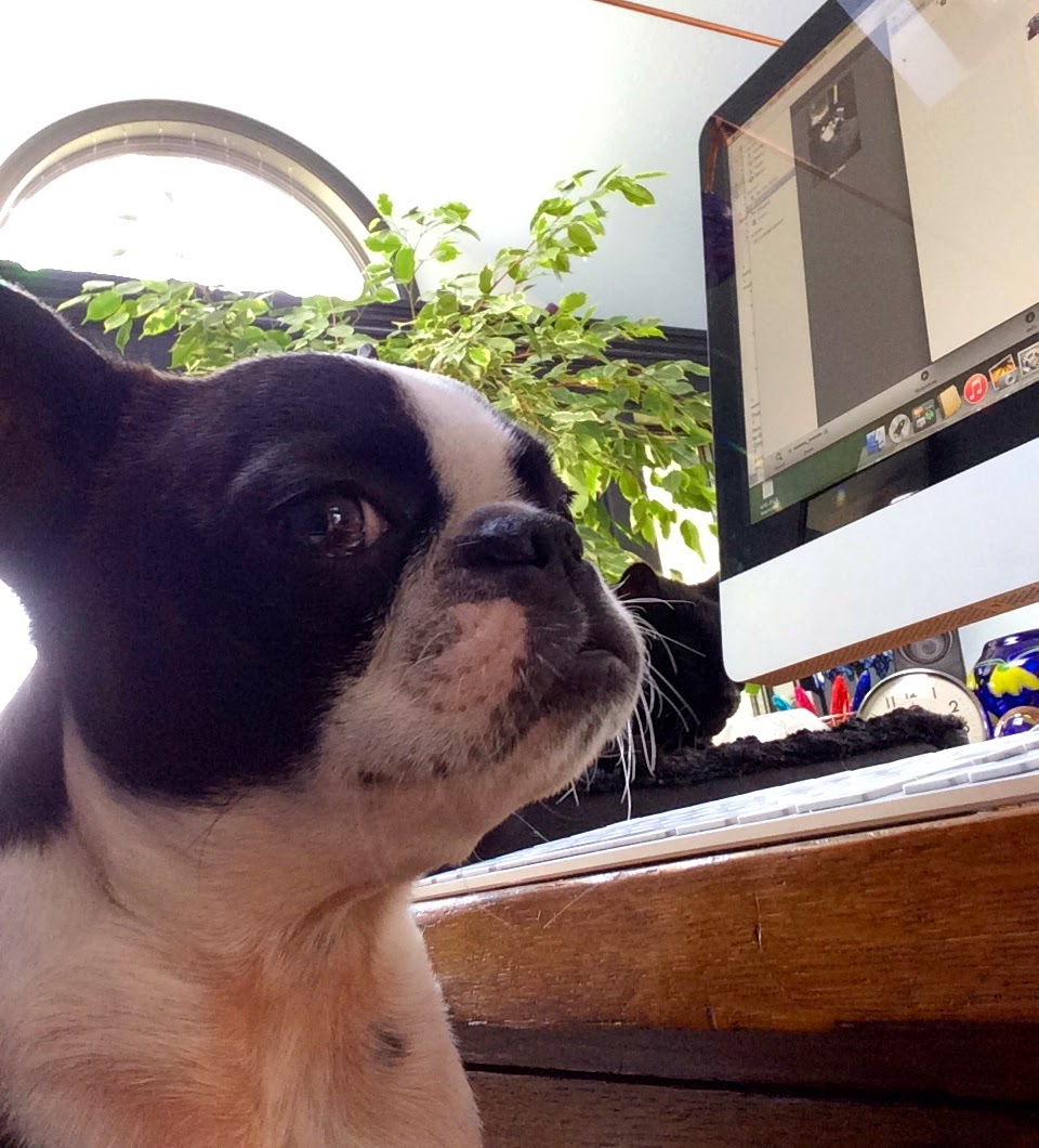 Sinead the Boston terrier and her computer