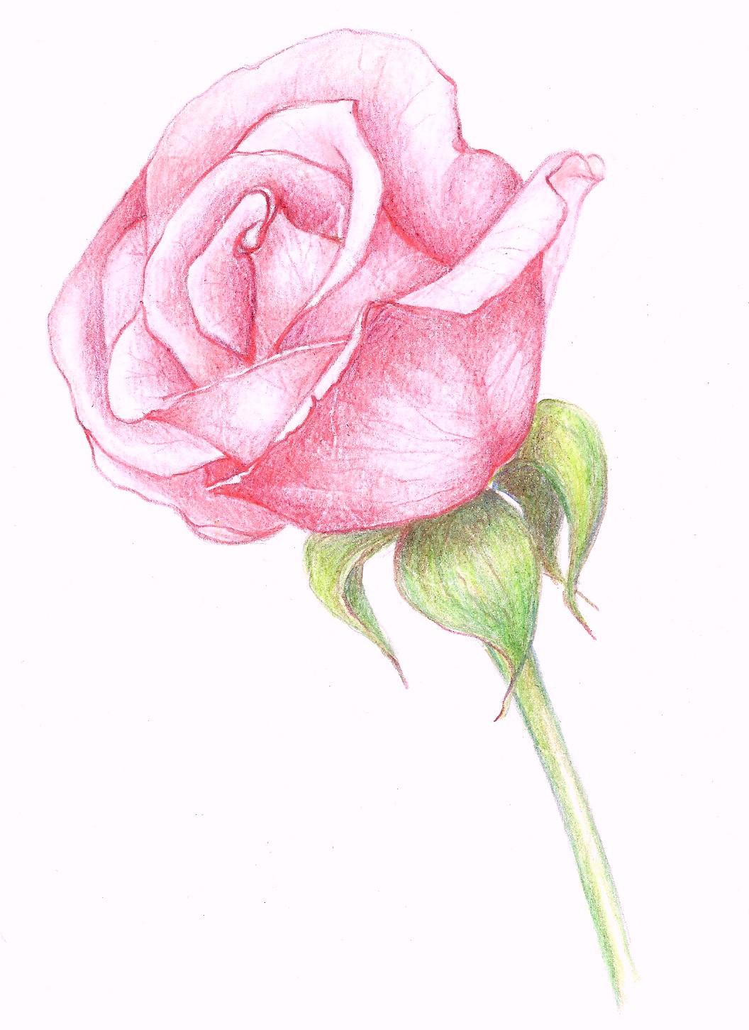 habrumalas: Pink Rose Drawing Images