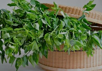 Salah satu materi baku jamu yang kami jual yaitu daun katuk kering dan serbuk Jual Daun Katuk Kering dan Serbuk