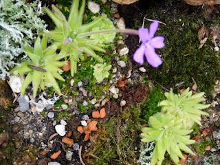 Pinguicula gypsicola - Grassette du Mexique - Plante carnivore