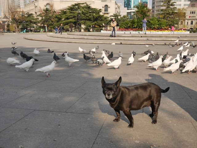 small dog standing next to many pigeons at Zhongshan Square in Dalian, China
