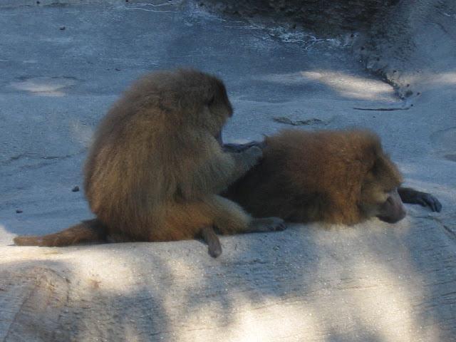Monkeys at Brookfield Zoo