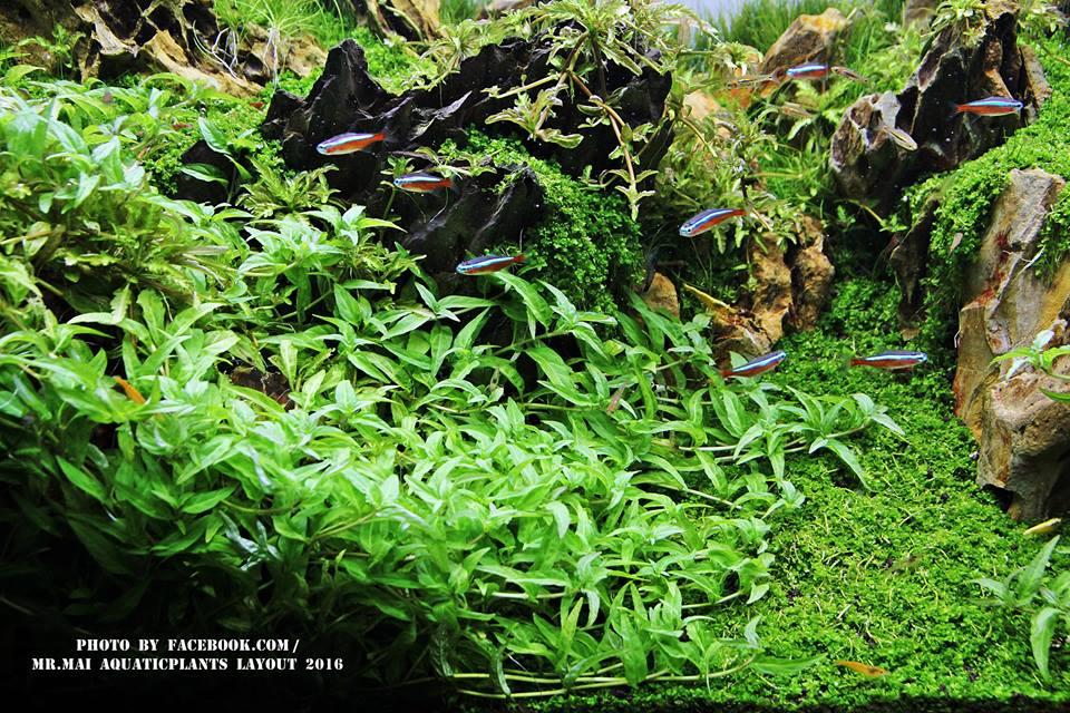 Vẻ đẹp của cây thủy sinh rau răm
