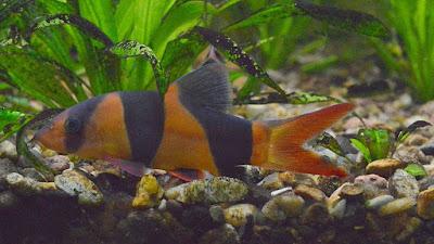 gambar ikan botia kalimantan