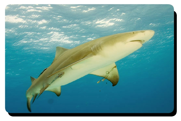 Lemon shark info