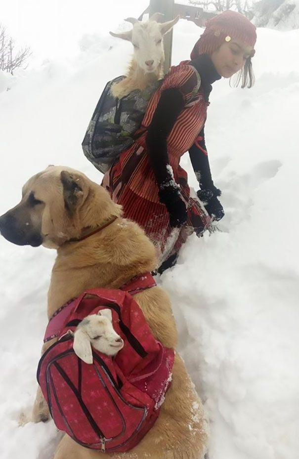 This Girl And Her Dog Just Saved A Mom Goat With Her Baby, And It's The Sweetest Thing You'll See Today - One day when she was herding the sheep on a snowy hillside far away from home…