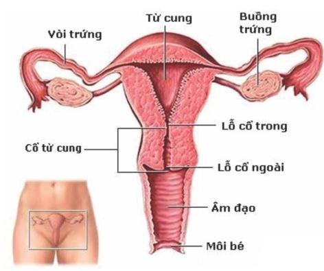 Buồng trứng của phụ nữ là gì ?
