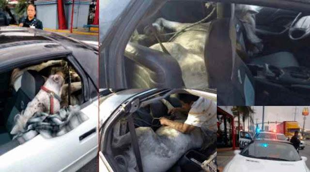 Localizan a caballo encobijado al interior de automóvil en Guadalupe, Nuevo León