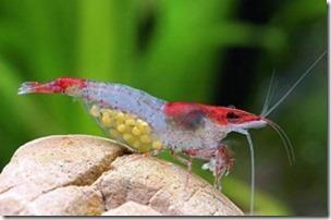 Cách nuôi tép cảnh Rili Shrimp