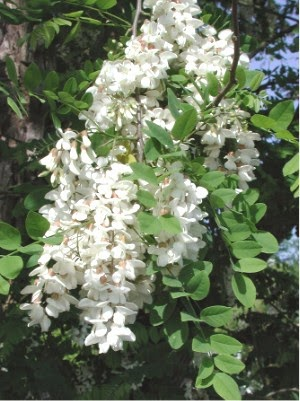 Flowering Black Locust