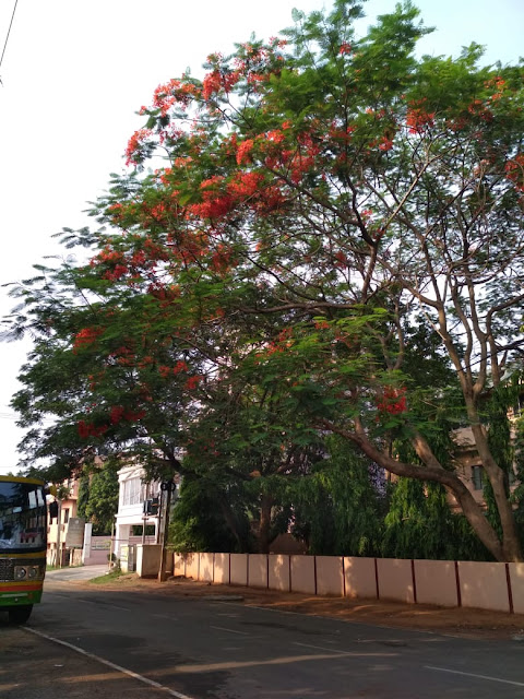 A majestic gulmohar tree near IIT KGP campus, Bhubaneswar. When the days get hotter, the hues of these flowers get better and darker. The whole of Bhubaneswar wears a reddish orange crown in summer. You'd find a gulmohar in every road, every corner.