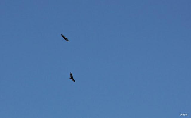 Deux rapaces en vol