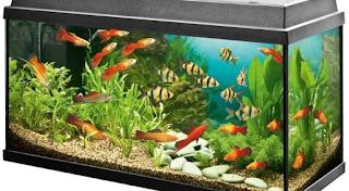 Cara Memelihara Ikan Hias Air Tawar, Laut di Akuarium