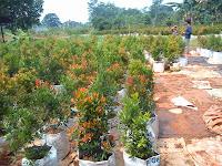 JUAL PUCUK MERAH | Tanaman Pagar | tanaman hias