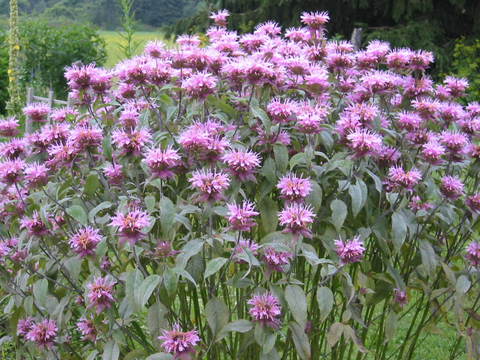 Canning Granny: Herbal Medicine Part 2: Bee Balm and Bee ...