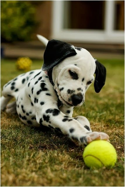 Cute Dalmation Dog Playing With His Ball