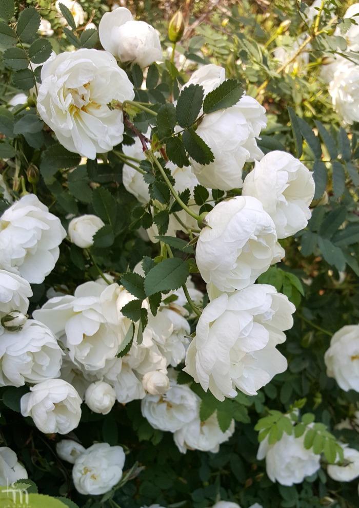 juhannusruusut kukkivat - midsummerroses