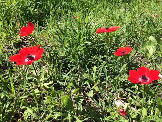 flores, calaniot, Oriente Médio
