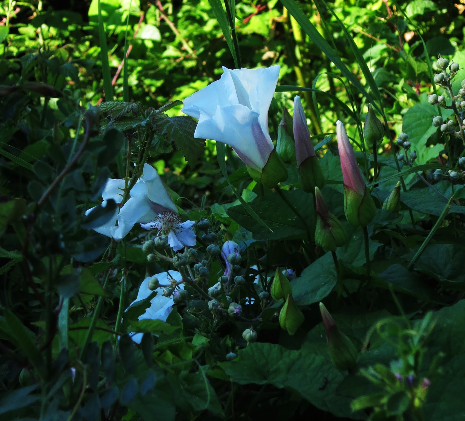 Bindweed flower closing as shadow falls across it
