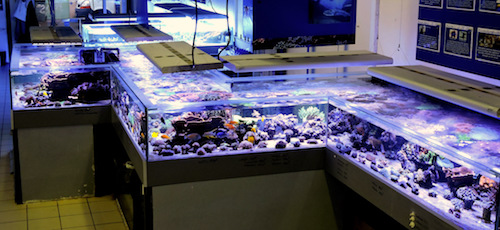 Aquarium de 6 000 litres dédié à la vente de coraux durs charnus et de coraux mous. Cet aquarium fait la fierté de la boutique ! Il a été collé sur place, en 3 jours. Photo : Guillaume Pujol