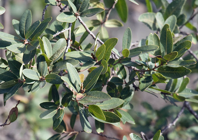 Engelmann's Oak
