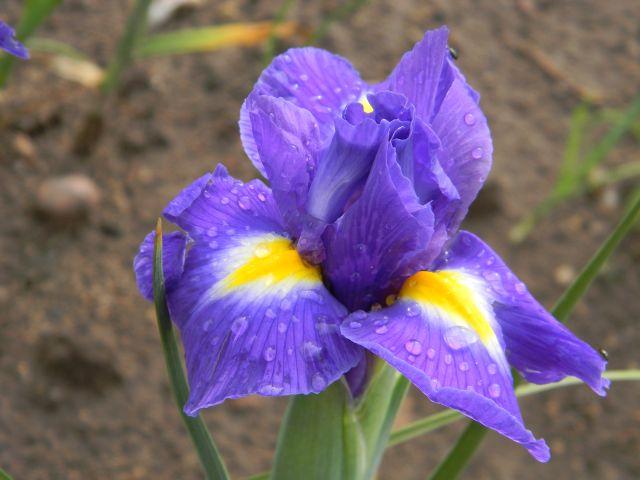 kosaciec, kwiat, ogród, fiolet
