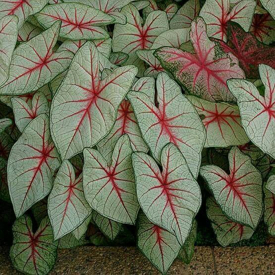 Tinhorão caladium bicolor