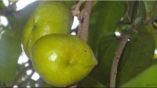 gambar buah gayam