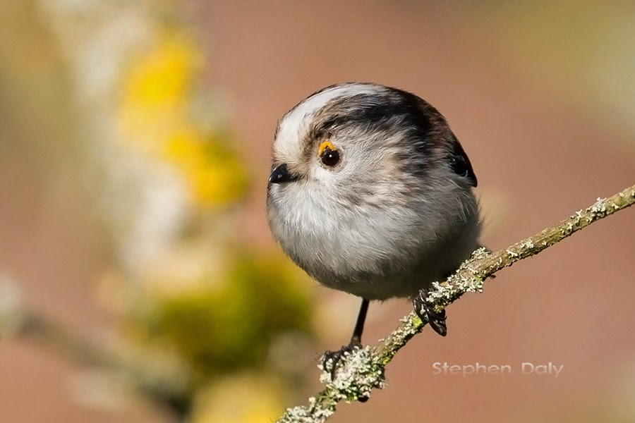 Black Forest Birds – Long-tailed Tit