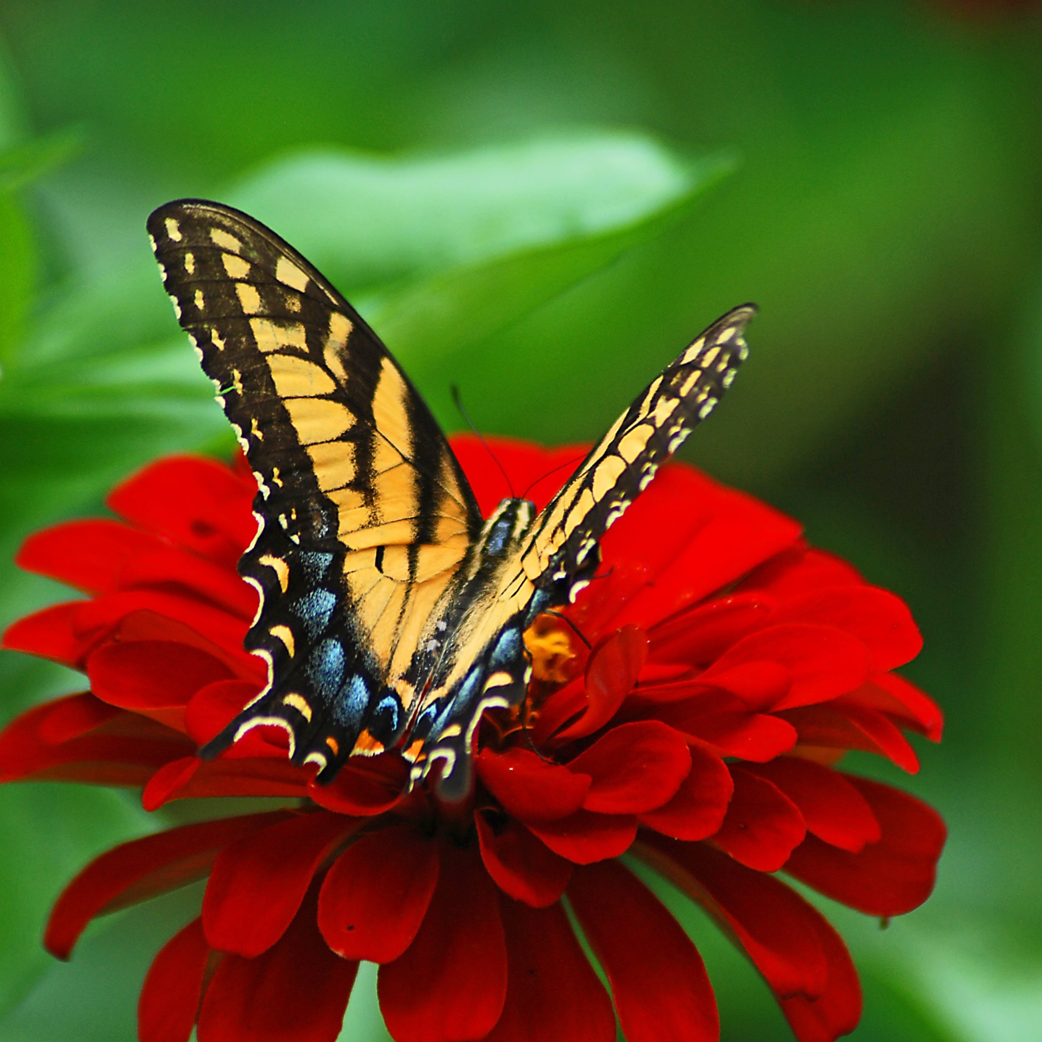 butterfly on the red flower hd wallpapers 4k