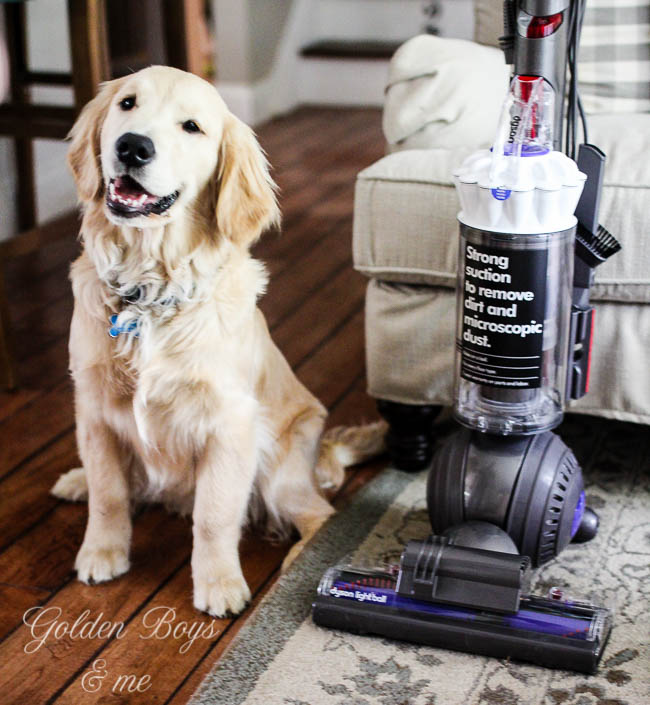 Dyson Light Ball vacuum review with golden retriever puppy