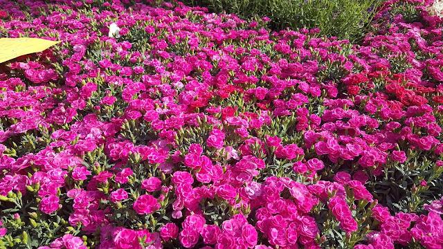 Balconi fioriti e fiera dei fiori a Santarcangelo