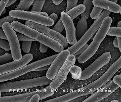 Ciri-Ciri Struktur Tubuh dan Tambahan Eubacteria