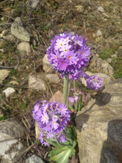 Spring, Primula