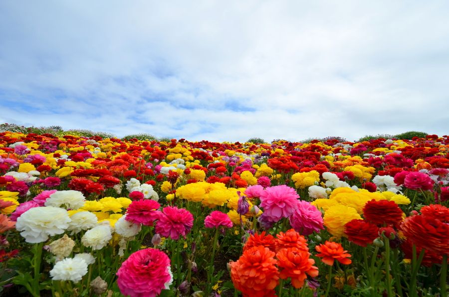 Flower Fields, Carlsbad by Sunil Jagadish