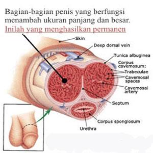 cara kerja MINYAK LINTAH PAPUA Obat Pembesar Alat Vital Pria