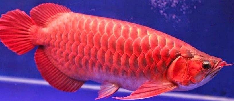 Harga Ikan Arwana Super Red Besar dan Kecil (Anakan)