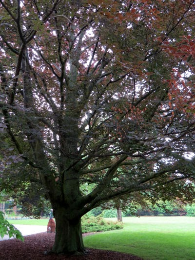 bronze beech at Dow Gardens