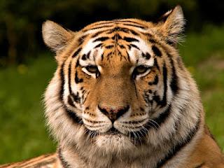 gambar Gambar Harimau Lengkap