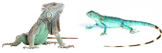 yavru-iguana-besleme