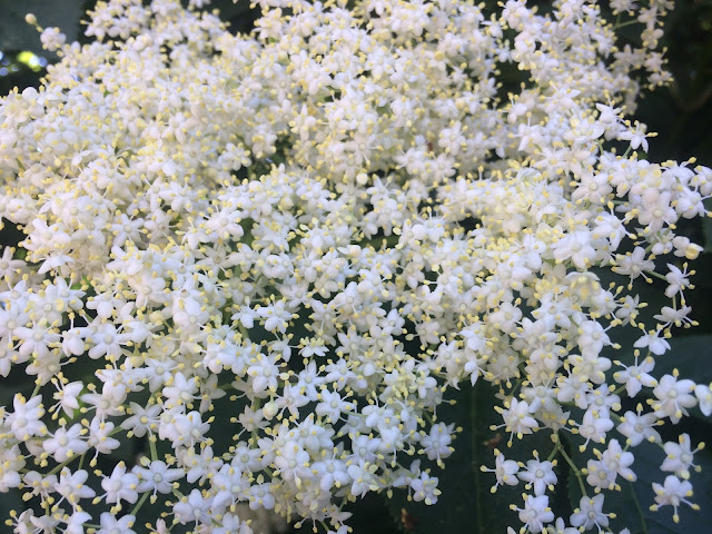 Close up of elderflower. The flowers look like white stars, with yellow stamen covered in pollen.