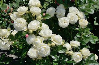 Artemis сорт розы фото купить саженцы Минск отзывы