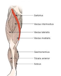 sartorius muscle, anatomy, muscle picture
