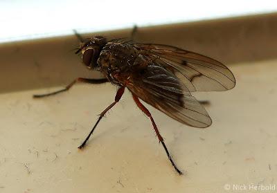 Nahaufnahme einer kleinen Stubenfliege auf dem Fensterbrett, Fannia canicularis, Makrofotografie Fliegen