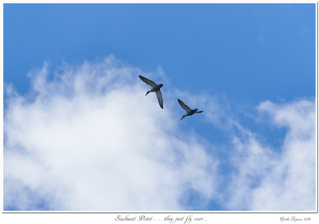 Sachuest Point: ... they just fly over...