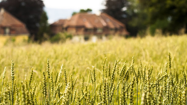Places to Visit in Zurich in One Day with a ZVV Day Pass: Field of wheat
